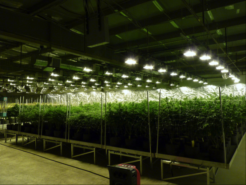 Growing cannabis on rolling benches for Grow room software